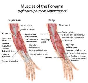common extensor tendon